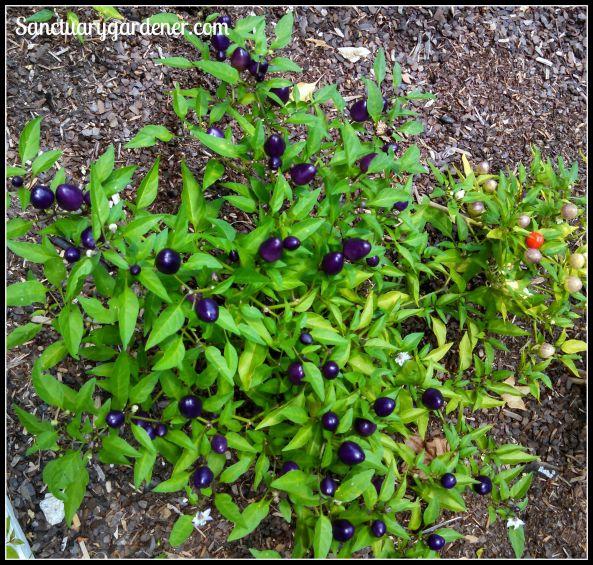 Filius Blue pepper fruiting