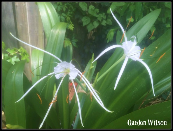 Spider lily blooms