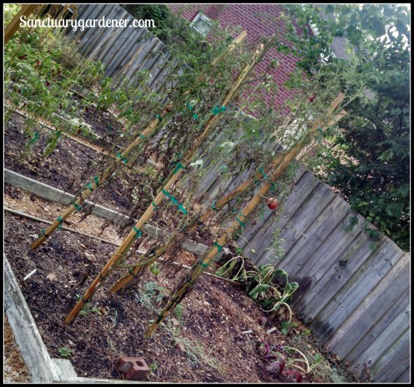 Bed 12 in August 2015 ~ Chard & slicing tomatoes