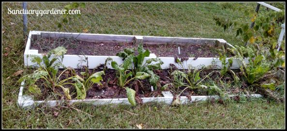 Bed 12x in August 2015 ~ Fallow & perpetual spinach