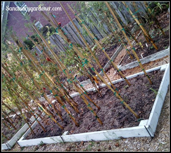 Bed 15 in August 2015 ~ Paste tomatoes
