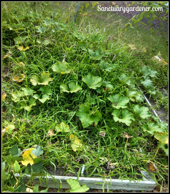 Bed 4 in August 2015 ~ Fallow (with squash vines growing across it)