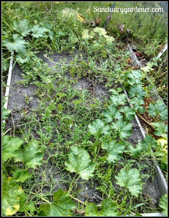 Bed 5 in August 2015 ~ Fallow (with squash & watermelon vines growing across it)