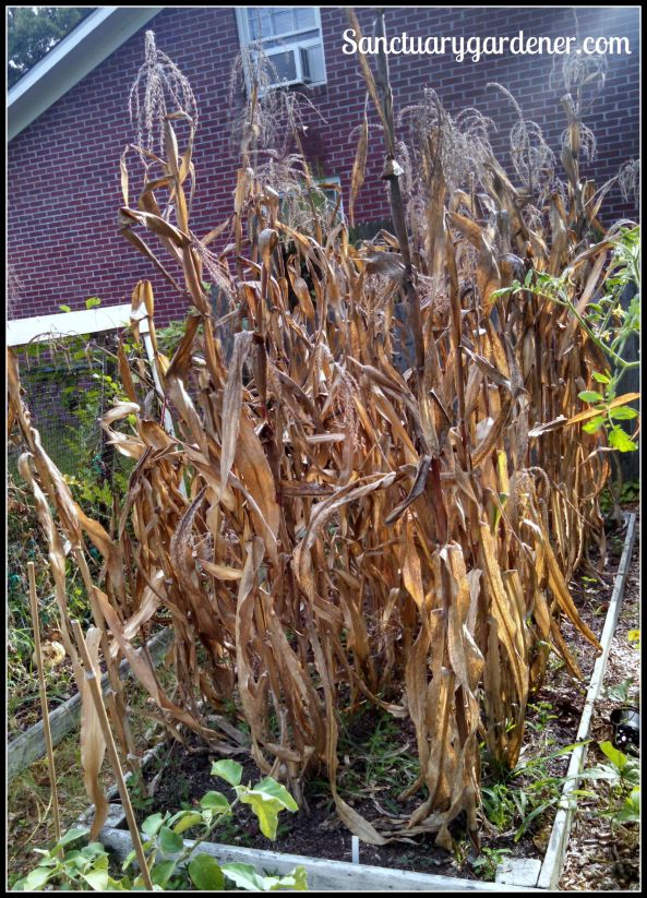 Bed 8 in August 2015 ~ Corn