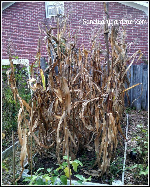 Corn stalks to pull