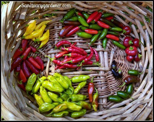 Peppers: Serrano, Hot Cherry, Black Hungarian,