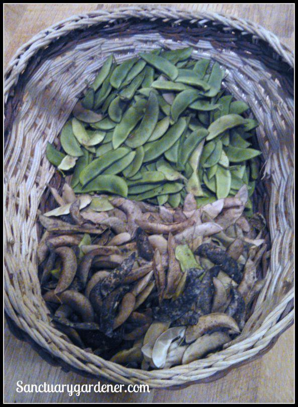 Henderson lima beans (fresh on top, sun-dried on bottom)