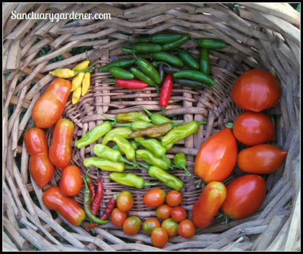 Serrano peppers, Amish paste tomatoes,