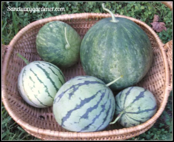 Watermelons: Wilson Sweet (red), Early Moonbeam (yellow)