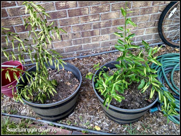 Key limes trees - needing water!