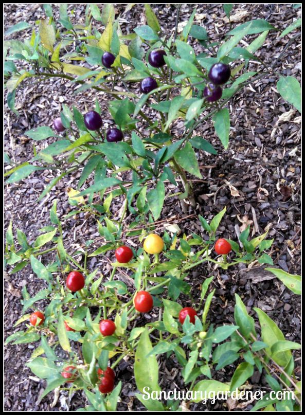 Filius Blue peppers