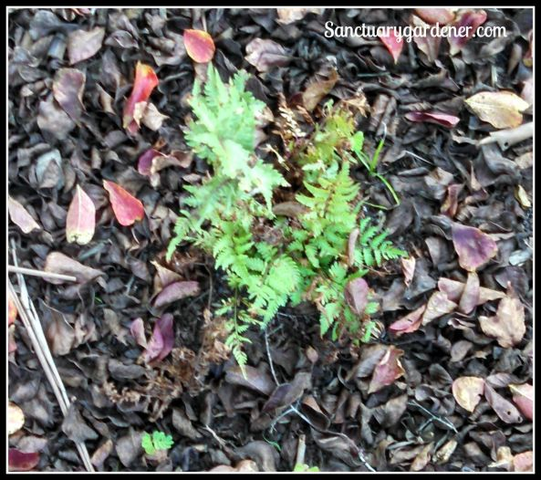 Red Beauty fern - staying alive