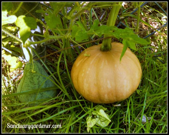 Seminole pumpkin almost ripe - growing next to a pear-shaped Strawberry watermelon