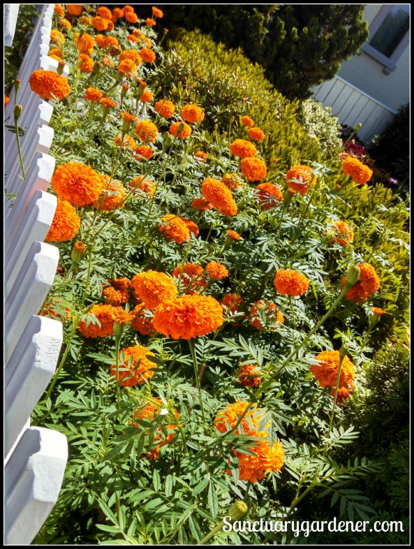 Giant marigolds in Wickford, RI
