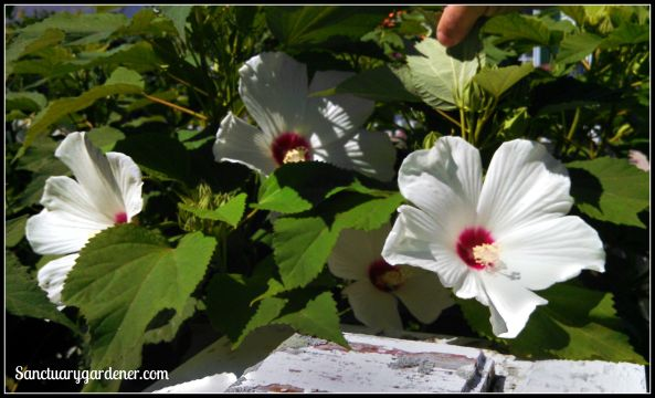 Hibiscus flowers in Wickford, RI