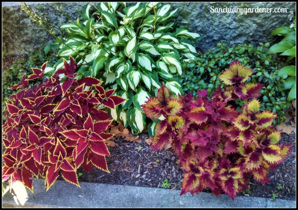 Hosta, coleus, and pachysandra along a sidewalk in Wickford, RI