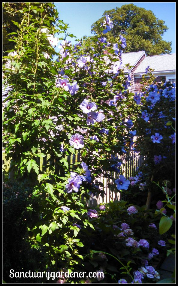 Rose of Sharon bush in Wickford, RI