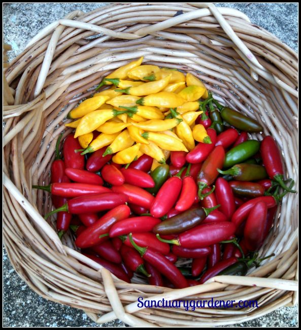 Lemon Drop Peppers & Serrano peppers