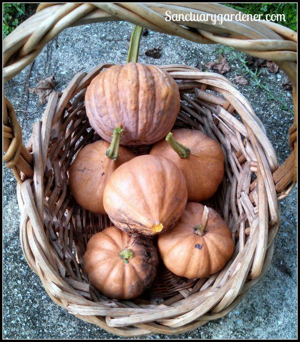 Black Futsu squash & Seminole pumpkins