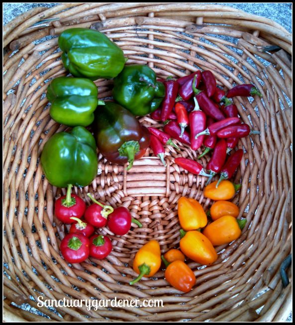 Emerald Giant green bell peppers, Fish peppers, Mini Yellow Stuffing peppers, Mini Red Bell peppers