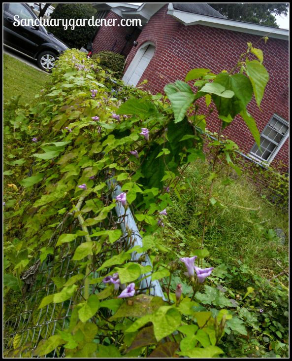 Black Futsu squash vine intertwined with morning glory vines