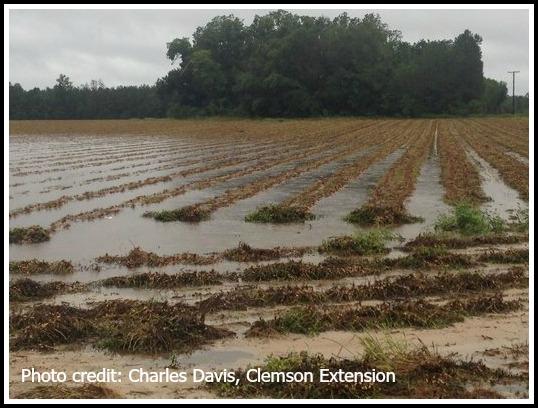 Flooded peanut field in South Carolina