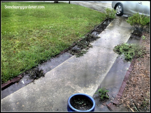 Puddles drowning the herbs along my front walkway on Saturday, Oct 3, 2015