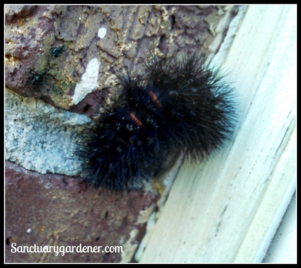 Giant Leopard Moth caterpillar showing its red bands