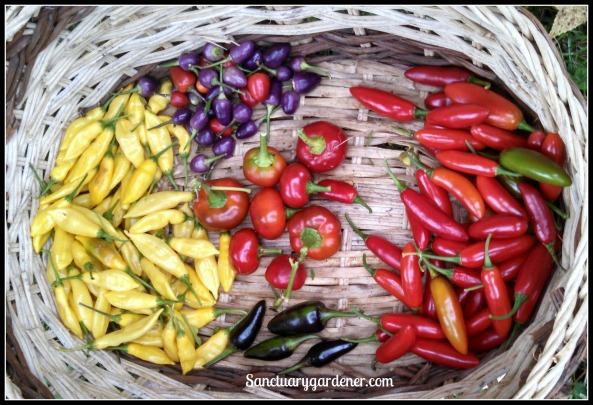 Chili peppers: Filius Blue, Serrano, Black Hungarian, Lemon Drop. Center: Hot Cherry