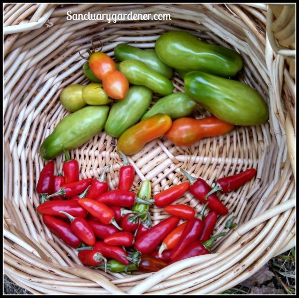 San Manzano tomatoes & Fish peppers
