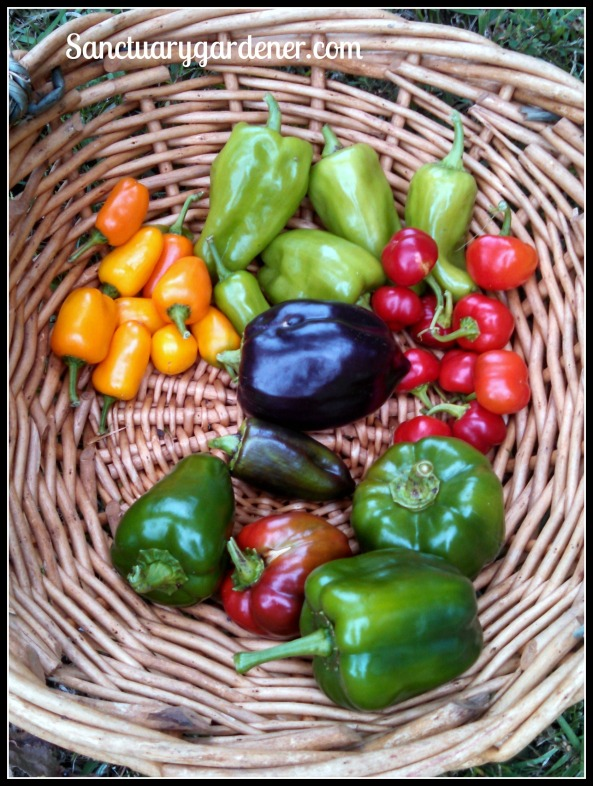Harvest - sweet peppers 26Oct15 SG