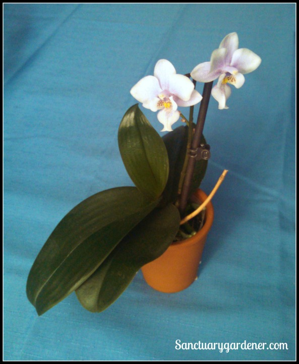 Mini orchid reblooming
