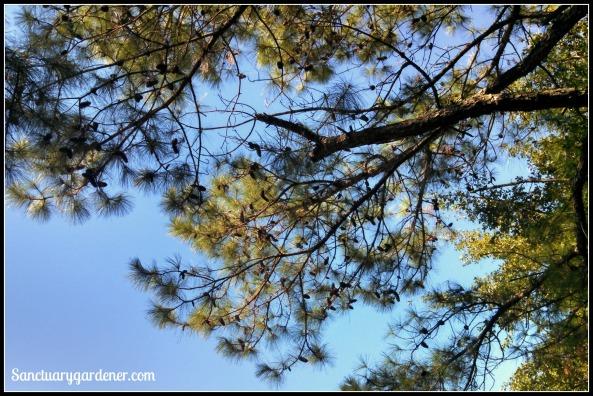 Pine boughs heavy with pine cones in Darlington, SC