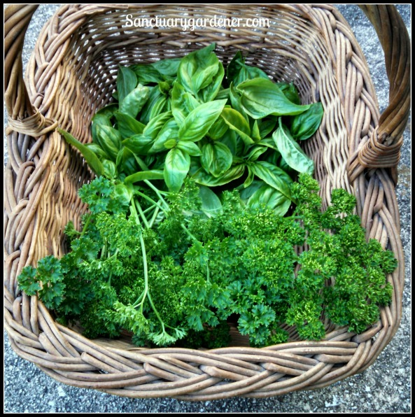 Sweet basil & curly parsley