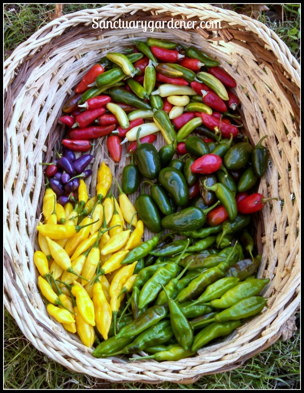 Fish peppers (in various stages of ripeness), jalapenos, lemon drop peppers (unripe & ripe), and Filius Blue peppers