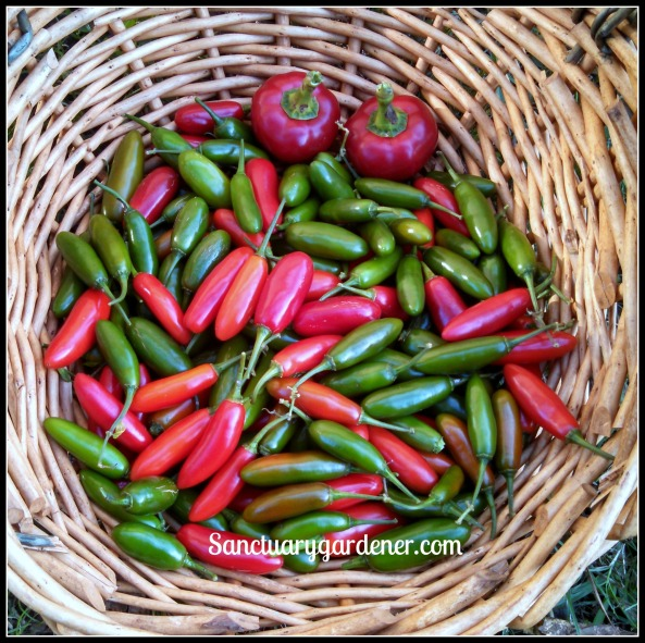 Hot cherry peppers & serrano peppers