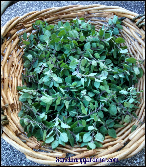 Spicy oregano harvest