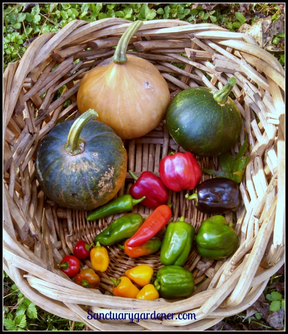Seminole pumpkin flanked by Black Futsu squash; Emerald Giant green (and red) bell peppers, Purple Beauty bell pepper, mini yellow stuffing peppers, mini red bell peppers