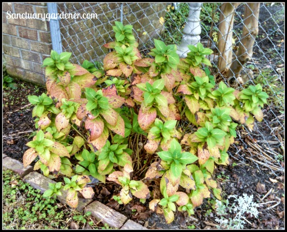Hydrangea in autumn