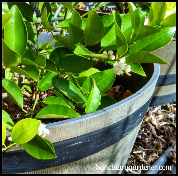 Key lime flowers