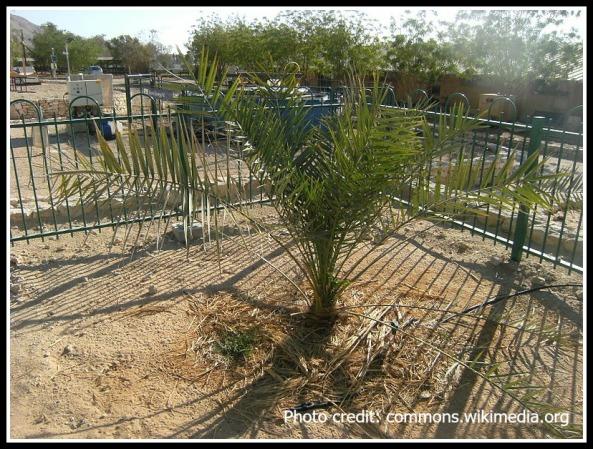 Methuseleh, Judean date palm grown from 2,000-year-old seed