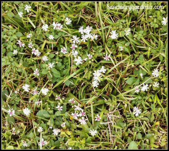 White wildflowers in my yard