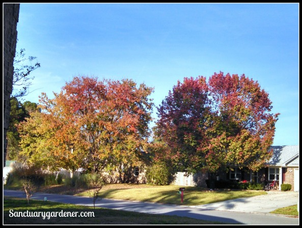 Neighbor's maple trees turning color