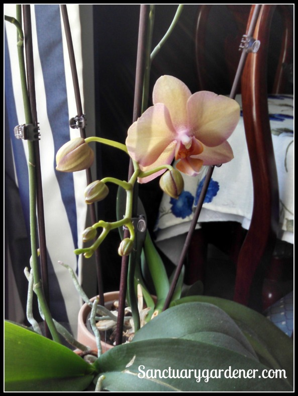 Large orchids blooming