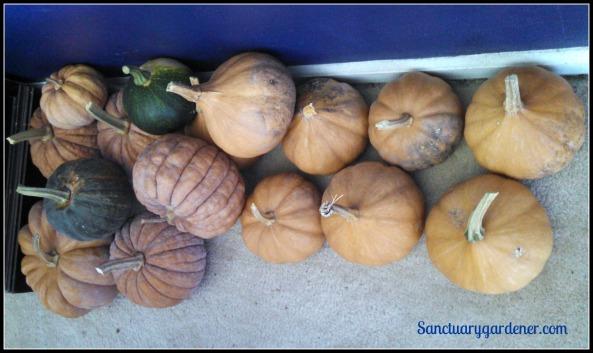 Winter squash & pumpkins ready to process