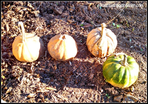 Seminole pumpkins & Black Futsu squash surprise