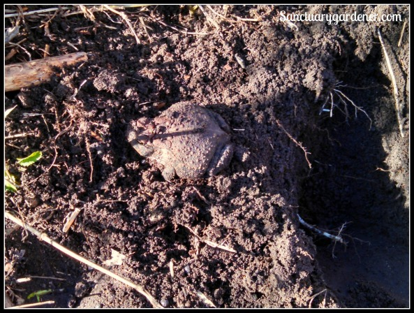 Garden toad - after I dug him up