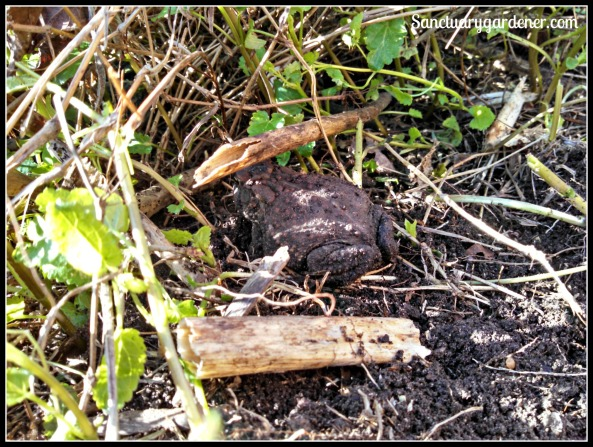 Garden toad - hopping to safety